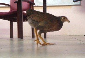 Hungry chicken in Barbados law seminar